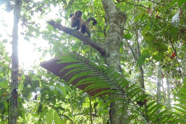 Macacos-prego são soltos no Campo de Provas Brigadeiro Velloso