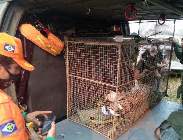 Helicóptero da FAB resgata onça pintada em região de incêndios no Mato Grosso