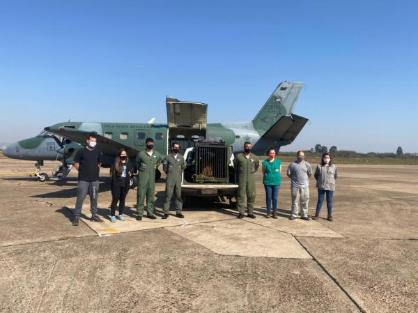 FAB realiza transporte de onça-pintada de São Paulo para Rio Grande do Sul